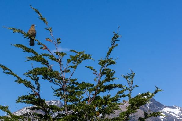 a yelling chimango caracara falcon